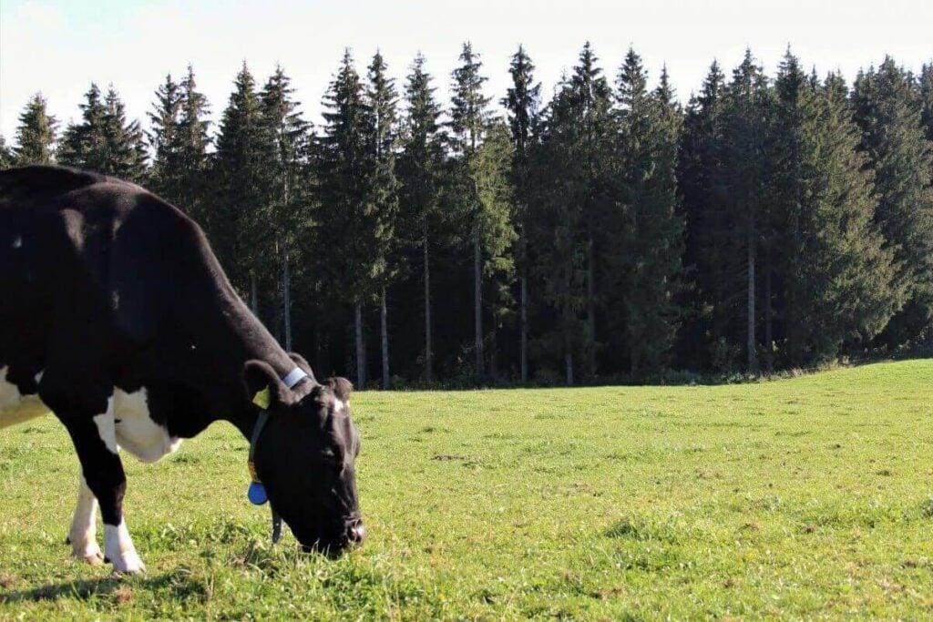 Kuh steht auf Weide vor Wald