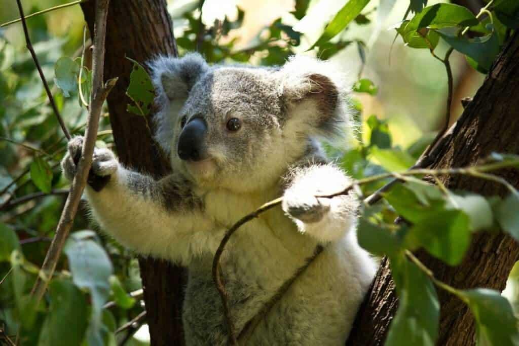 Koala in Eukalyptusbaum
