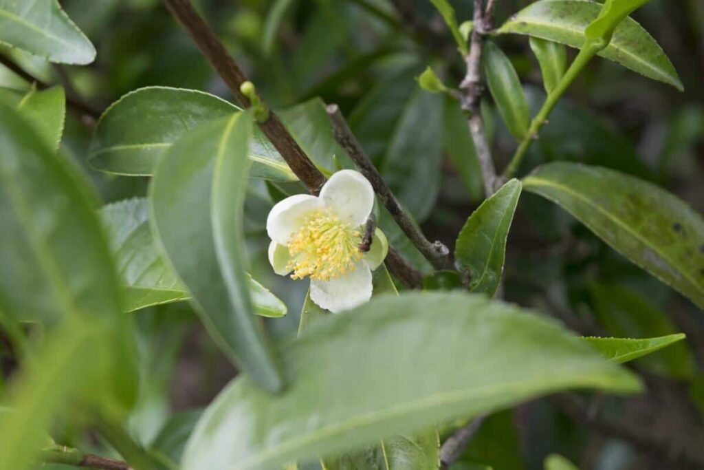 Teebaum mit Blüte