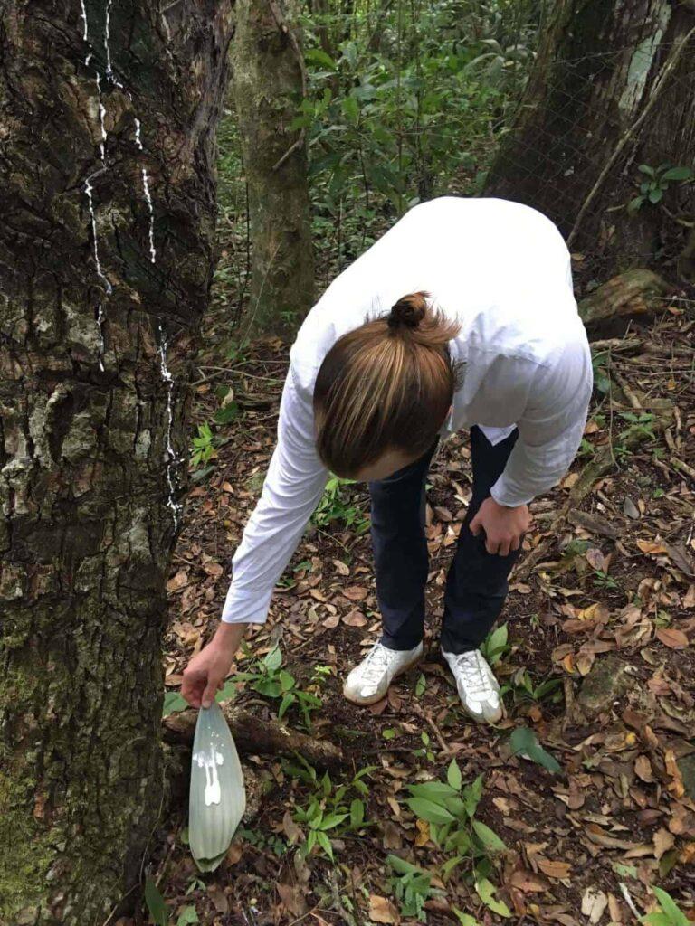 Ernte des Chicle Baumsaftes für plastikfreie Kaugummis mit Tom von Forest Gum