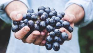 Weintrauben in Händen gehalten