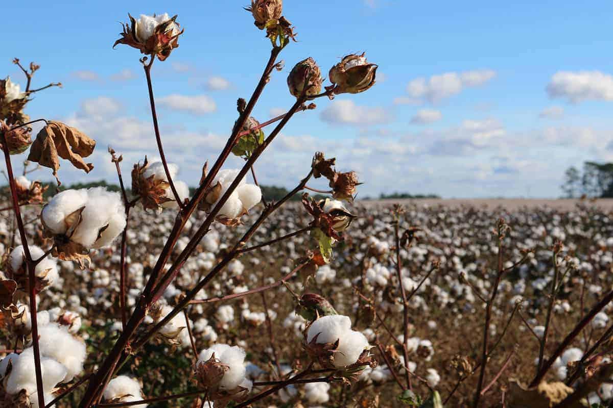 Baumwolle auf Baumwollfeld