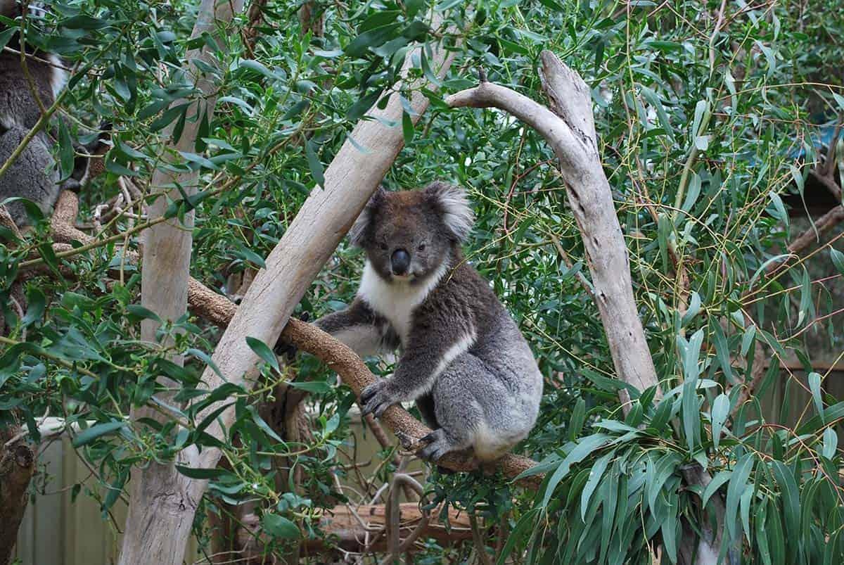 Eukalyptusbaum und Koalabär